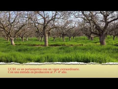 PLAINP, cultivo de pistacho, planta de pistachero.