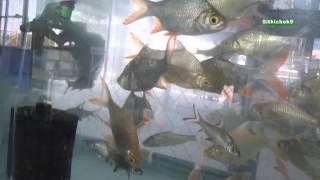getlinkyoutube.com-ร้านปลาตี๋น้อยบายกอล์ฟ ปลาน่าเลี้ยง นครปฐม ; Aquarium ; Thai Fishes Shop ; Nakhon Pathom,Th.