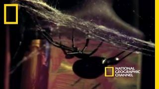 Ölümcül Eş: Karadul, Latrodectus mactans