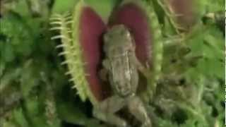 getlinkyoutube.com-Carnivorous Plant Eats FROG and MOUSE !! new Killer-Plant discovered !