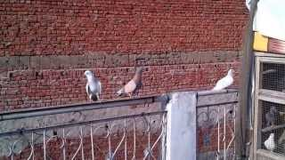 getlinkyoutube.com-DHELI 6 PIGEONS