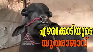 getlinkyoutube.com-Akalangalile India - Yuvraj, the biggest buffalo in Asia  |Akalangalile India 4th March 2015