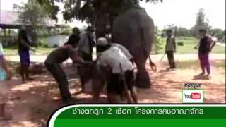 getlinkyoutube.com-ZOO NEWS ช้างตกลูก 2 เชือก โครงการคชอาณาจักร