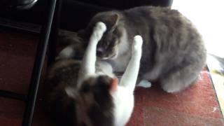getlinkyoutube.com-Attempted Cat Rape?