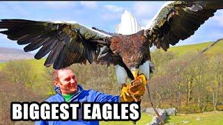 getlinkyoutube.com-Best Eagle Attacks! World's Largest & Deadliest - Golden, Bald and Haast's Eagles