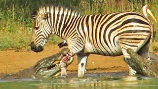 getlinkyoutube.com-Zebra Escapes the Jaws of 2 Crocodiles
