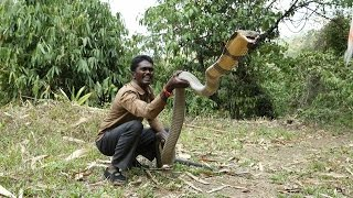 getlinkyoutube.com-awesome king cobra  vava suresh caught a big king cobra at kerala