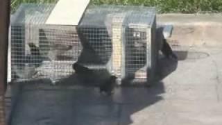 getlinkyoutube.com-Trampa para pájaros multicaptura