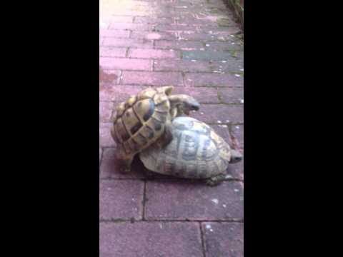 Turtles Sex - Schildkröten Sex