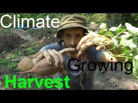 Two Easy ways to Grow Sweet Potatoes - Slips Cuttings & Harvesting!