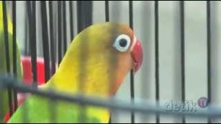 Ribuan Burung Menyerbu Senayan - DetikTV