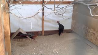 getlinkyoutube.com-Coop: Pheasant, Quail, & Dove 2013