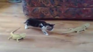 قطة وسحليتين - موقف مضحك جدا هههه