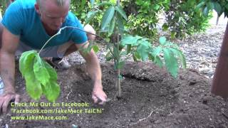 How to Plant a Tropical Fruit Tree - White Sapote Tree