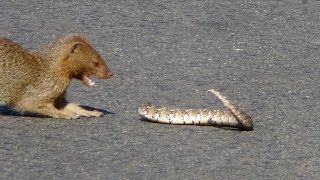 Slender Mongoose Interaction With Puff Adder (Black & White) - Latest Wildlife Sightings