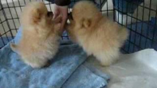 getlinkyoutube.com-8 week old Pomeranian puppies!