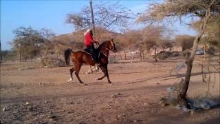 getlinkyoutube.com-.:[ حصان ]:. فحــل مصــري بلوش ( جمال + نسب + ركوب + لعب ) طرب