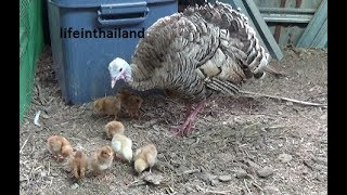 Mom Turkey and her 8 newly hatched baby chickens.