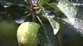 getlinkyoutube.com-Ψεκασμός ζεόλιθου σε ελαιόδεντρα, οπωροφόρα, κηπευτικά και κληματαριές. 2015
