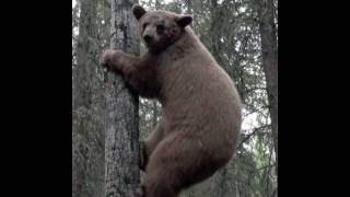 A Guide's Life 6.8.11 - Alberta bear hunt with dangerously close up footage