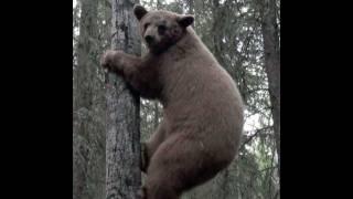 getlinkyoutube.com-A Guide's Life 6.8.11 - Alberta bear hunt with dangerously close up footage