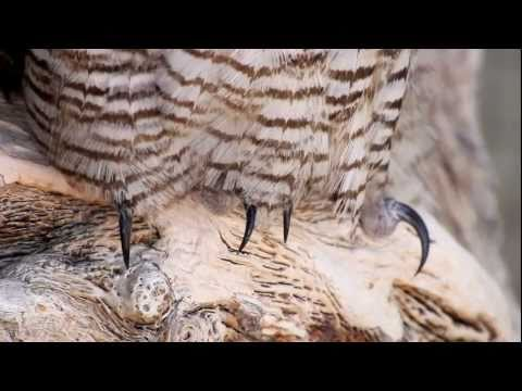 Drowsy Great Horned Owl face and claws close-up 2-pac(set 4) HD V09445