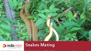 getlinkyoutube.com-Snakes Mating | Frightening Yet Fascinating | India Video