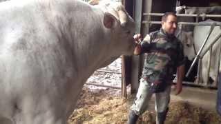 getlinkyoutube.com-Toro di razza Chianina - Italian Chianina Bull [1/3]