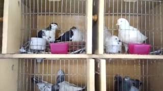 getlinkyoutube.com-Pigeons Farm || Fancy Pigeons Farming