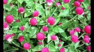 getlinkyoutube.com-ต้นไม้ดอกไม้มงคล