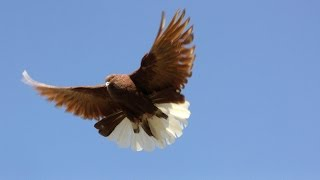 getlinkyoutube.com-Polish Orliks High Flying Pigeons