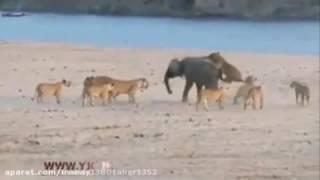 getlinkyoutube.com-حمله گله شیر به بچه فیل کوچک بسیار دیدنی