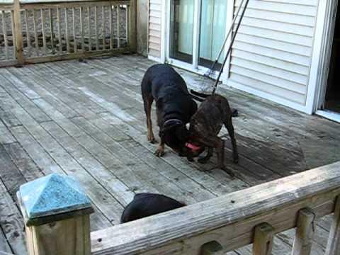 Videos De Rottweiler Vs Pitbull Sound Mirar Videos Online Rottweiler