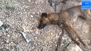 getlinkyoutube.com-اصطياد افعى سامه 25-5-2015 يشتبه بانها قتلت كلب قبل 20 يوم مع جمال العمواسي