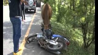 getlinkyoutube.com-พัทลุง มักง่ายล่ามวัวบนถนน