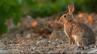 Caza y gestión del conejo de monte