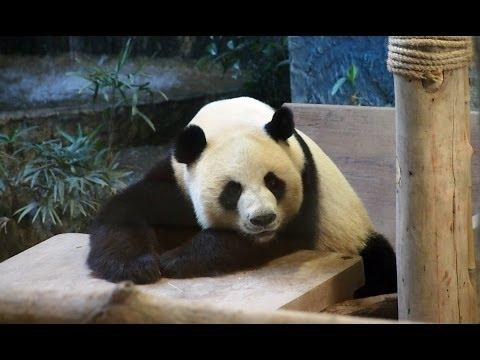 หมีแพนด้าช่วงช่วง (สวนสัตว์เชียงใหม่) Giant Panda at Chiang Mai Zoo