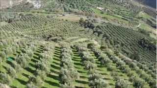 getlinkyoutube.com-Μάζεμα ελιάς στην Κρήτη * Collecting olives in Crete