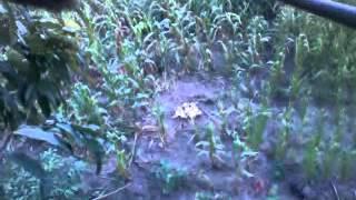 getlinkyoutube.com-catitu na roça de milho