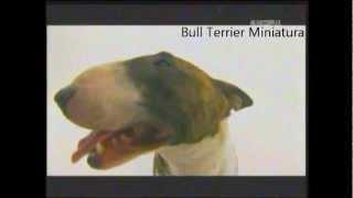 getlinkyoutube.com-Bull Terrier Miniatura   ABC CANINO 101 DOGS ESPAÑOL