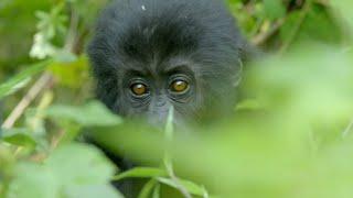 Silverback Gorilla Fight | Gorilla Family and Me | BBC Earth