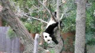 getlinkyoutube.com-Silly Panda Bear climbs a tree upside down!