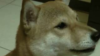 getlinkyoutube.com-林曼妮-神奇狗食(會講話的狗)