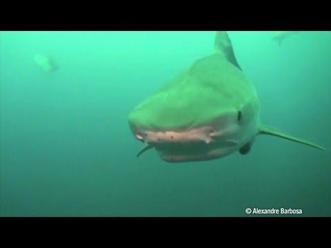 Risco de tubarões nas praias do Recife