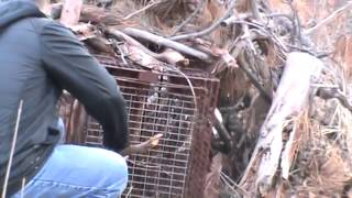 getlinkyoutube.com-Mountain lion caught in hunter's trap