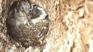 getlinkyoutube.com-Kookaburras on nest in Newcastle Part 2