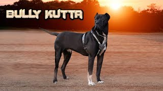 getlinkyoutube.com-Bully Kutta - The Best Game Dogs
