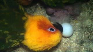 getlinkyoutube.com-Sunday Conures Egg Ready To Hatch...