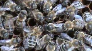getlinkyoutube.com-3/3 Apicultura pentru incepatori Stupul fara regina Familia de albine fara matca Cum o salvam