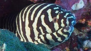 getlinkyoutube.com-Moray Eels - Reef Life of the Andaman - Part 7